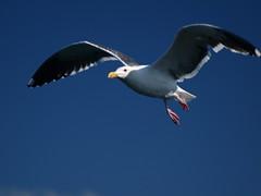 Sea Gull Flight