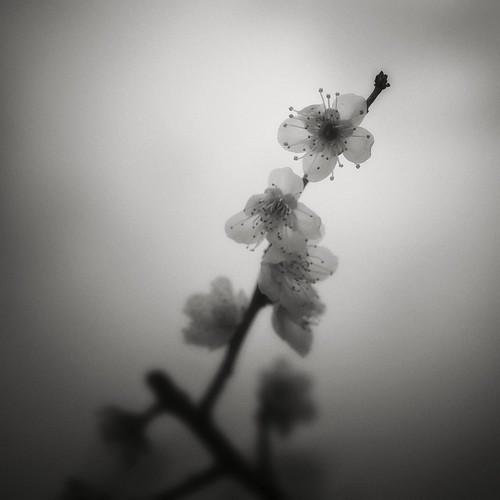 blackandwhite bw japan evening spring dusk 日本 岐阜 gifu 梅 plumblossoms 梅の花 春 夜 白黒 岐阜県 canon50d stephencairns 50mmcanonf14 50dcanon