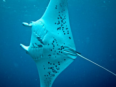 deep sea fish(0.0), reef(0.0), requiem shark(0.0), tiger shark(0.0), animal(1.0), manta ray(1.0), fish(1.0), marine biology(1.0), skate(1.0), underwater(1.0), cartilaginous fish(1.0),