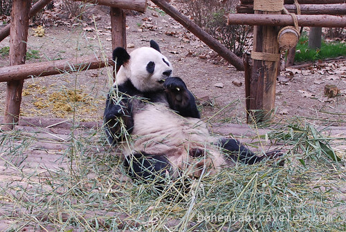 Pandas in Chengdu China 16