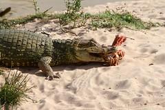 Spectacled caiman (Caiman crocodilus) dining on Savanna Side-necked Turtle (Podocnemis vogli)