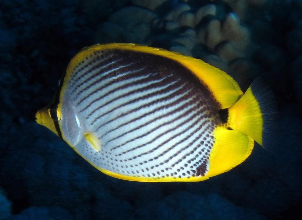 Black-backed Butterflyfish or blackback butterflyfish - Chaetodon melannotus - at Little Brother, Red Sea, Egypt #SCUBA