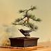 Ponderosa Pine by jt893x