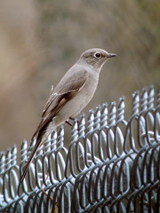 Townsend's Solitaire, Sandy Hook, NJ