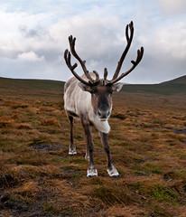 springbok(0.0), pronghorn(0.0), animal(1.0), antelope(1.0), deer(1.0), plain(1.0), nature(1.0), horn(1.0), fauna(1.0), safari(1.0), wildlife(1.0), reindeer(1.0),
