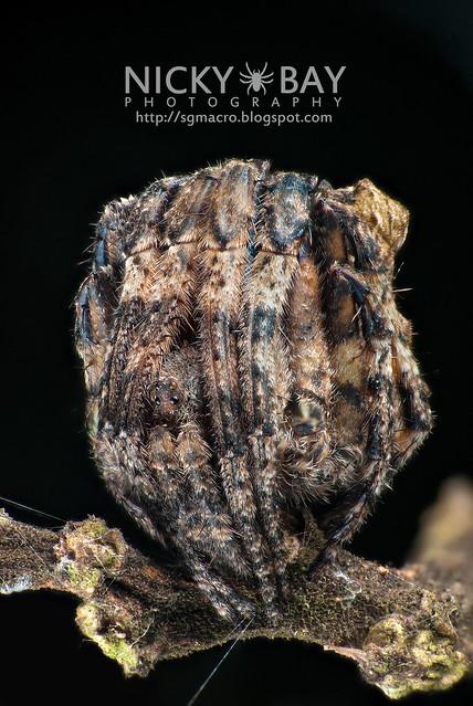 Tree Stump Orb Weaver (Poltys sp.) - DSC_5142b