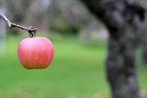 apple nature canon bokeh carlzeiss eos7d planart1450ze cnoneos7d gettyimagesjapanq4