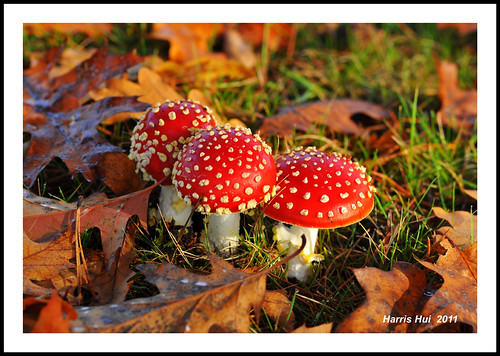 The Three Little Red Riding Hoods - Amanita Muscaria N7733e