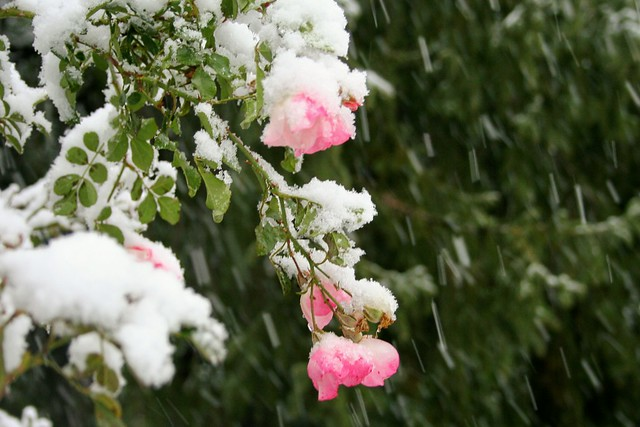 Pink Roses At Essex County's Rose Garden During Snowtober
