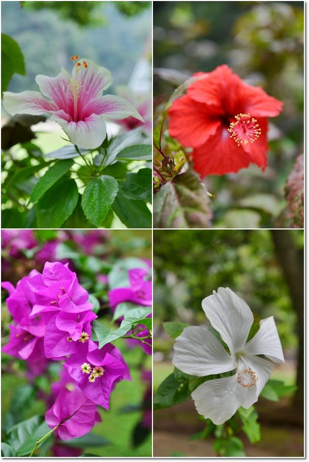 Hibiscus & Bougainvillea
