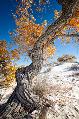 newmexico tree fall nature landscape desert dunes cottonwood trunk nik alamogordo whitesandsnationalmonument alberoefoglia thepinnaclehof kanchenjungachallengewinner bugeyedg ruby5 tphofweek172