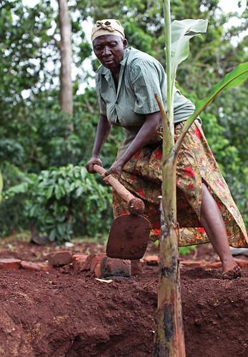 Matoke tree planting in Uganda
