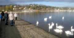 Swan Lake in fall color on Oslo Fjord beach #3