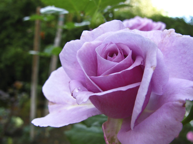 The Purpule Rose