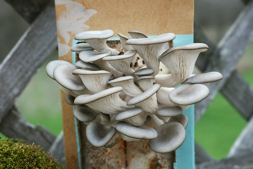DIY Oyster Mushroom Kit - Day 8