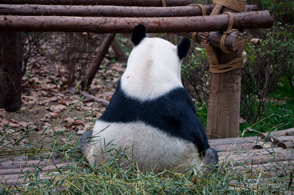 Giant_Panda_cute_back_Chengdu_Sichuan_China