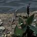 Iguana, Santa Maria del Oro, MX, 1997_03_25 001.jpg por maholyoak