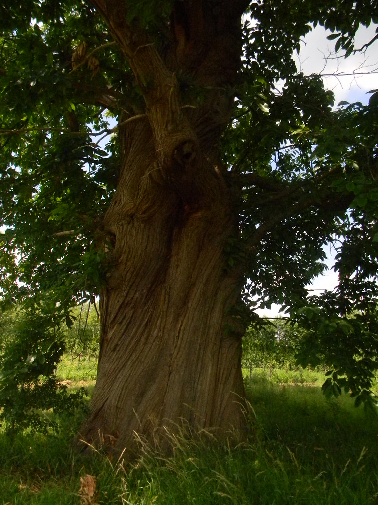 Big chestnut Pluckley circular