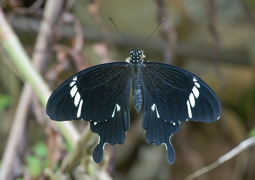 Black Helen butterfly, Papilio nephalus albolineatus <br></p><p>IMG_7243 copy