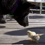 mocha meets the new chicks