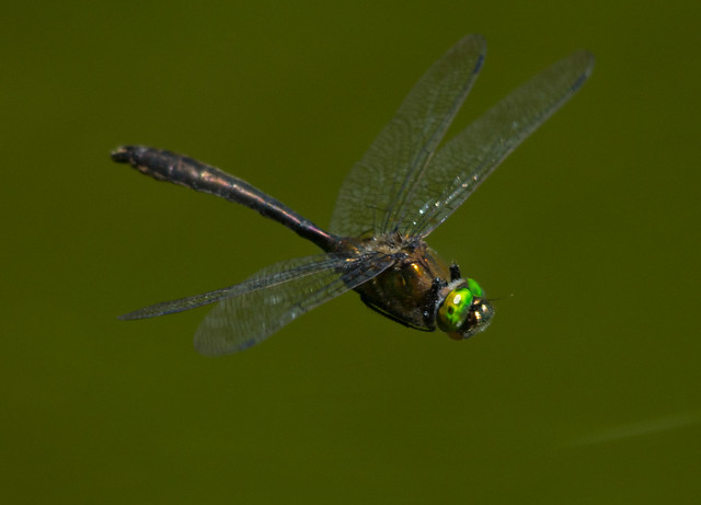 downy emerald in flight best 4