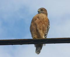 neighborhood red-shouldered (not red-tailed) hawk