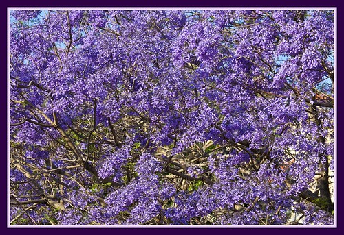 Purple + Purple = Jacaranda time-07=