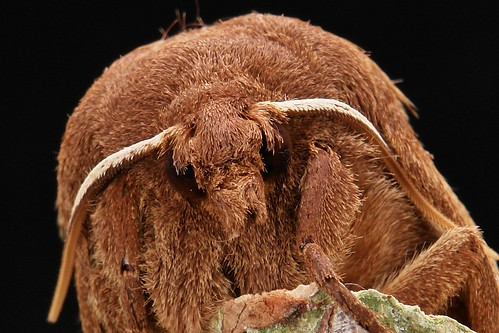 Snout Moth(Hoenimnema yunnanensis, Lasiocampidae)