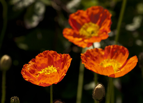 Orange Poppies - Copyright R.Weal 2011