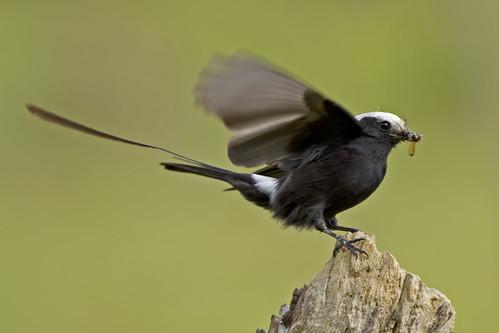 Male Long-tailed Tyrant (Viuvinha macho)