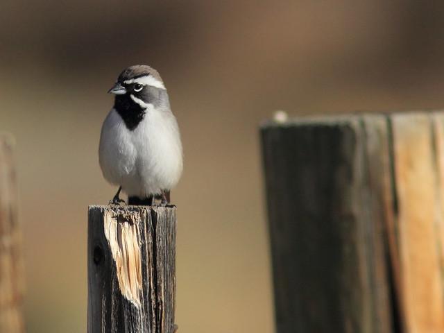 Black-throated Sparrow 3-20111114