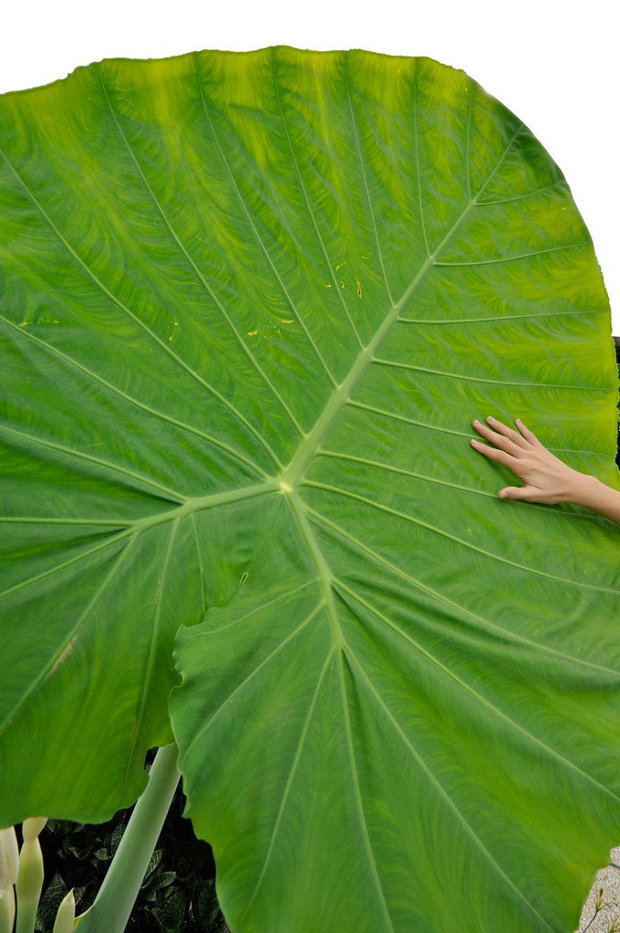 The Big Green Leaf 大叶 ...