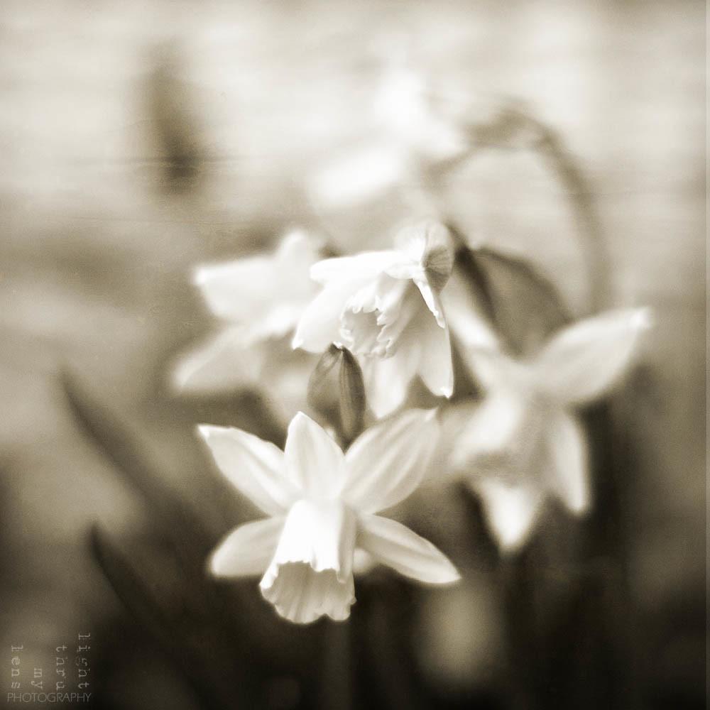 [25/52 Weeks in B&W]: Palindromic Daffodils (virats i texturats)