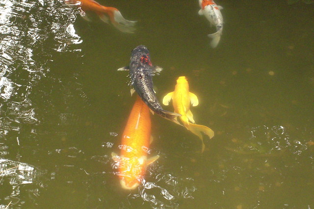 Koi fish at japanese tea garden explore bamalibrarylady for Koi japanese garden screensaver