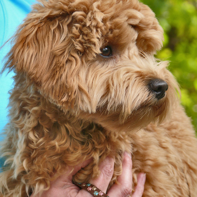 Labrador And Poodle   Dog Breeds Picture