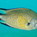 Lanzarote-201110-PlayaChica-Damselfish-SolitaryMidwater