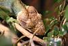 "<a href=""http://www.flickr.com/photos/katrinfeldbauer/6284143382/"">Photo of Polychrus marmoratus by Katrin Feldbauer</a>"