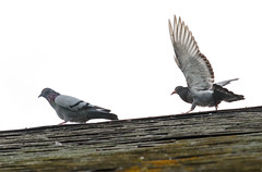 Ravenous and Dorky-Looking Pigeon Harrasses Its Parent for Food - Photo of Nécy