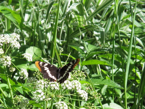 Butterfly in the bushes by the Metolius River