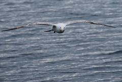 Sea Gulls - Salen Pier - 8
