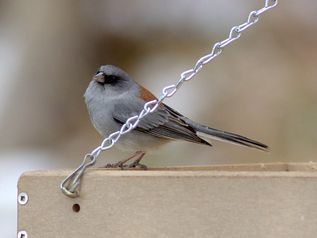 Gray-headed Dark-eyed Junco 20111112