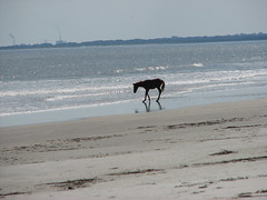 Horse on Stafford Beach