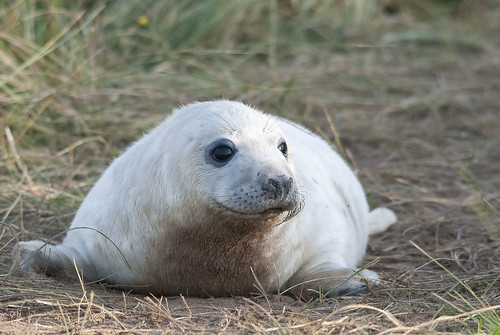 Grey Seal  ( pup )