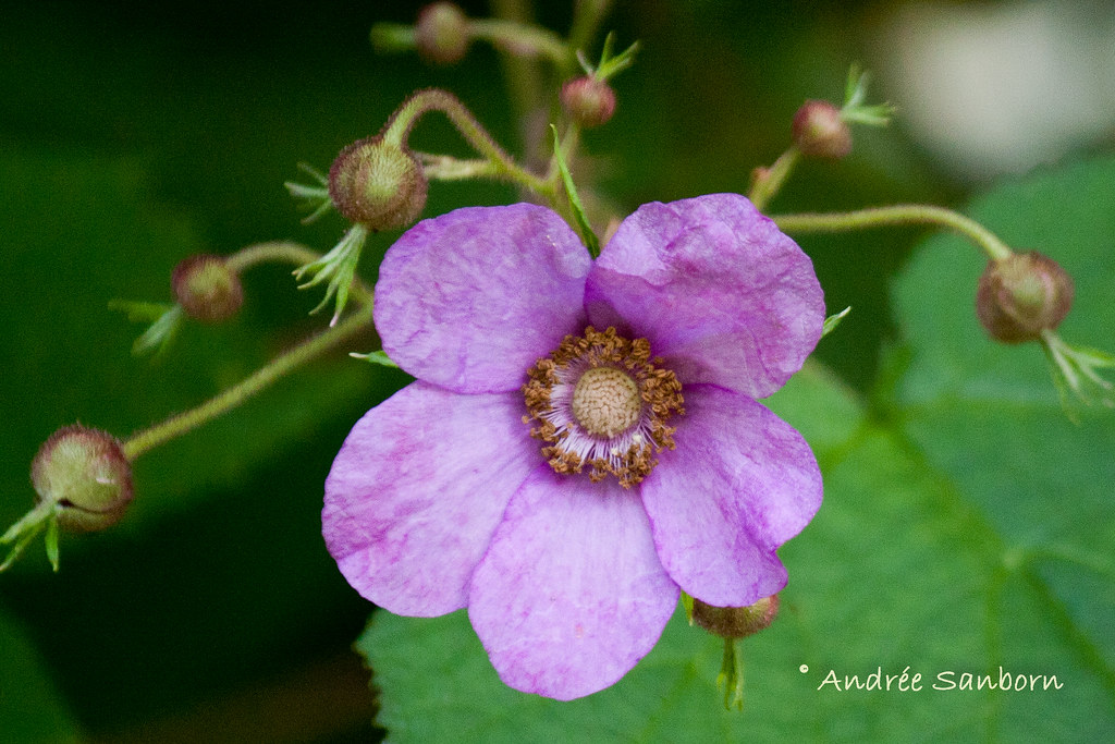 Flowering Raspberry (Rubus odoratus)-15.jpg