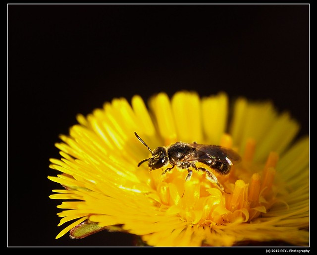 Sweat Bee (Family Halictidae)