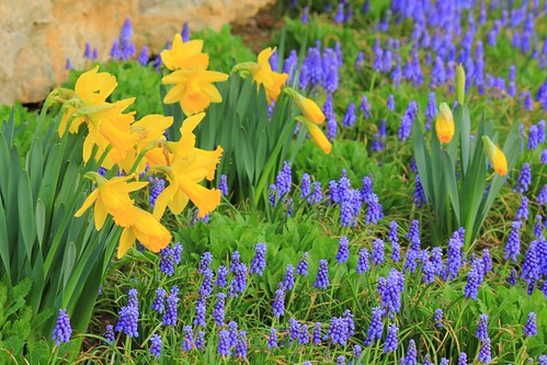 Harbingers of Spring, daffodils and grape hyacinths