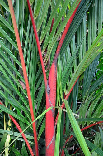 Sealing Wax Palm