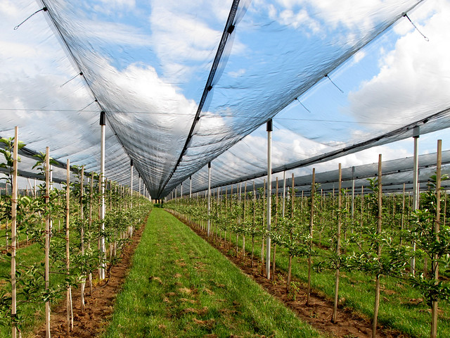 Fruit Cultivation under Hail Protection Net