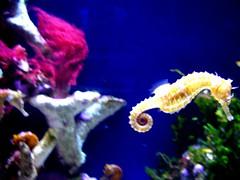 seahorse, coral reef, animal, coral, organism, marine biology, freshwater aquarium, underwater, reef, aquarium,