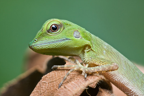 An immature green crested lizard, <i>Bronchocela cristatella  </i>IMG_6929 copy